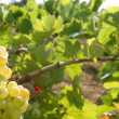 Grapefruit golden vineyard fields in summer - 图库照片