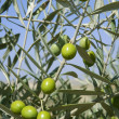 Beautiful green olive field macro over blue sky - Stock Photo