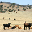 Stock Photo: Bull cattle black toro in southern Spain
