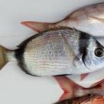 Diplodus vulgaris fish two band bream — Stock Photo