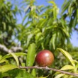 Nectarine peach tree growing in spring blue sky - Stock Photo