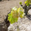 Vineyard first spring sprouts in row field in Spain — Zdjęcie stockowe