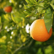 Orange fruit tree before harvest Spain - Stock Photo