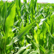Agriculture corn plants field green plantation — Stock Photo