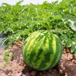 Agriculture watermelon field big fruit water melon - Foto Stock