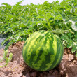 Agriculture watermelon field big fruit water melon - Zdjęcie stockowe