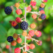 Blackberry berries branch in plant selective focus - Stock Photo