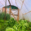 Home garden chard vegetables greenhouse — Stock Photo