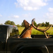 Weird deer taxidermist head over cargo van - ストック写真
