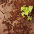 Lettuce green outbreak over red clay floor — Stock Photo