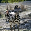 Zebra laughing, funny animal image - Stock Photo