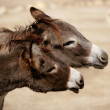 Funny two donkey want to bit or kiss a woman — Stock Photo