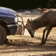 Deer fighting with a car, power combat - Stock Photo