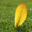 Yellow autumn fall leaf on garden green grass lawn — Stock Photo