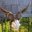 Goat horn fertility symbol metaphor tied in door - Stockfoto