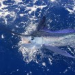 Beautiful white marlin real billfish sport fishing — Stock Photo