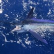 Atlantic white marlin big game sport fishing — Stock Photo
