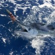 Beautiful white marlin real billfish sport fishing - Стоковая фотография