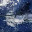 Atlantic white marlin big game sport fishing - Stock Photo