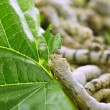 Silkworms eating mulberry leaf closeup — Stock Photo