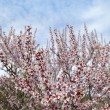Almond flower trees field in spring season — ストック写真
