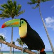 Royalty-Free Stock Photo: Kee billed Toucan bird colorful
