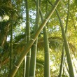 Bamboo cane green plantation — Stock Photo