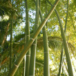 Bamboo cane green plantation — Stock Photo #5506500