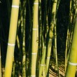 Bamboo cane green plantation — Foto Stock