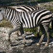 Beautiful african Zebra outdoor - Stock Photo