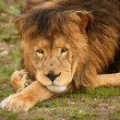 Beautiful Lion wild male animal portrait — Stok fotoğraf