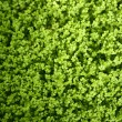 Стоковое фото: Angel tears grass plant, SoleiroliSoleirolii