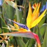 Genus strelitzia reginae orange bird flower — Stock Photo #5506765