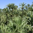Stock Photo: Palm tree forest in Elche, Spain