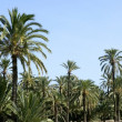 Palm tree forest in Elche, Spain — Stock Photo #5506808