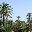 Palm tree forest in Elche, Spain — Stock Photo