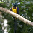 Blue and yellow african bird — Stock Photo
