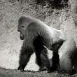 Gorilla walking, in black and white - Stock Photo