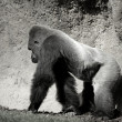 Gorilla walking, in black and white — Stock Photo #5506833