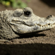 Midget crocodrile from Africa, Aligators. - 图库照片