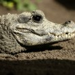 Midget crocodrile from Africa, Aligators. - Foto Stock