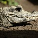 Midget crocodrile from Africa, Aligators. — Stock Photo