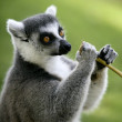Stock Photo: Madagascar Ring Tailed Lemur