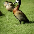 White faced Whistling duck from Madagascar - Stock Photo