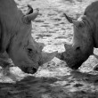 Two africrhino, duel for power — Stock Photo #5506850