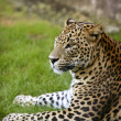 African leopard on green grass - Stock Photo