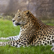 African leopard on green grass — Stock Photo