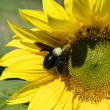 Yellow sunflowers with bee on a sunny day — Stock Photo