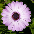 Purple pink daisy flower, green leaves, outdoors — Foto Stock