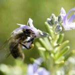 Bee macro in a mediterranean rosemary flower — Stock Photo #5506904